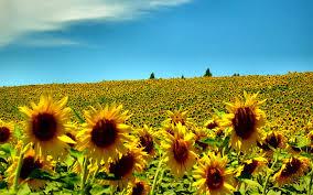 http://mr1.homeflow.co.uk/files/site_asset/image/2911/2677/sunflowers.jpg?1433762685
