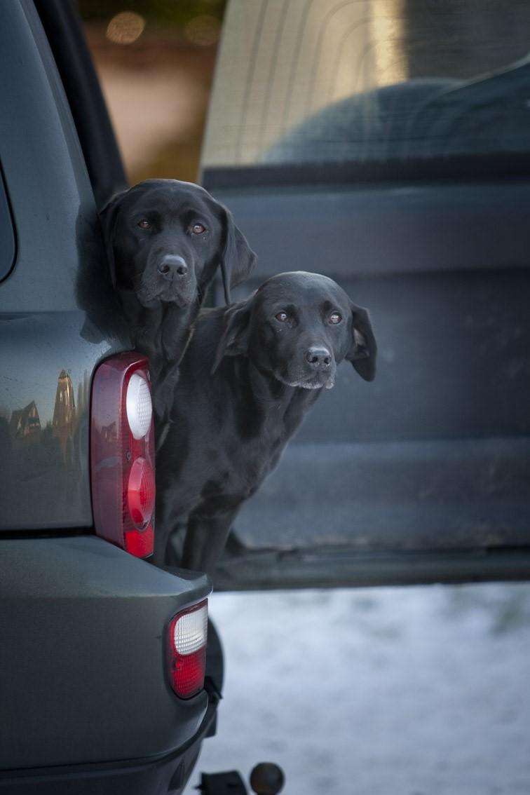 Labradors in a landrover