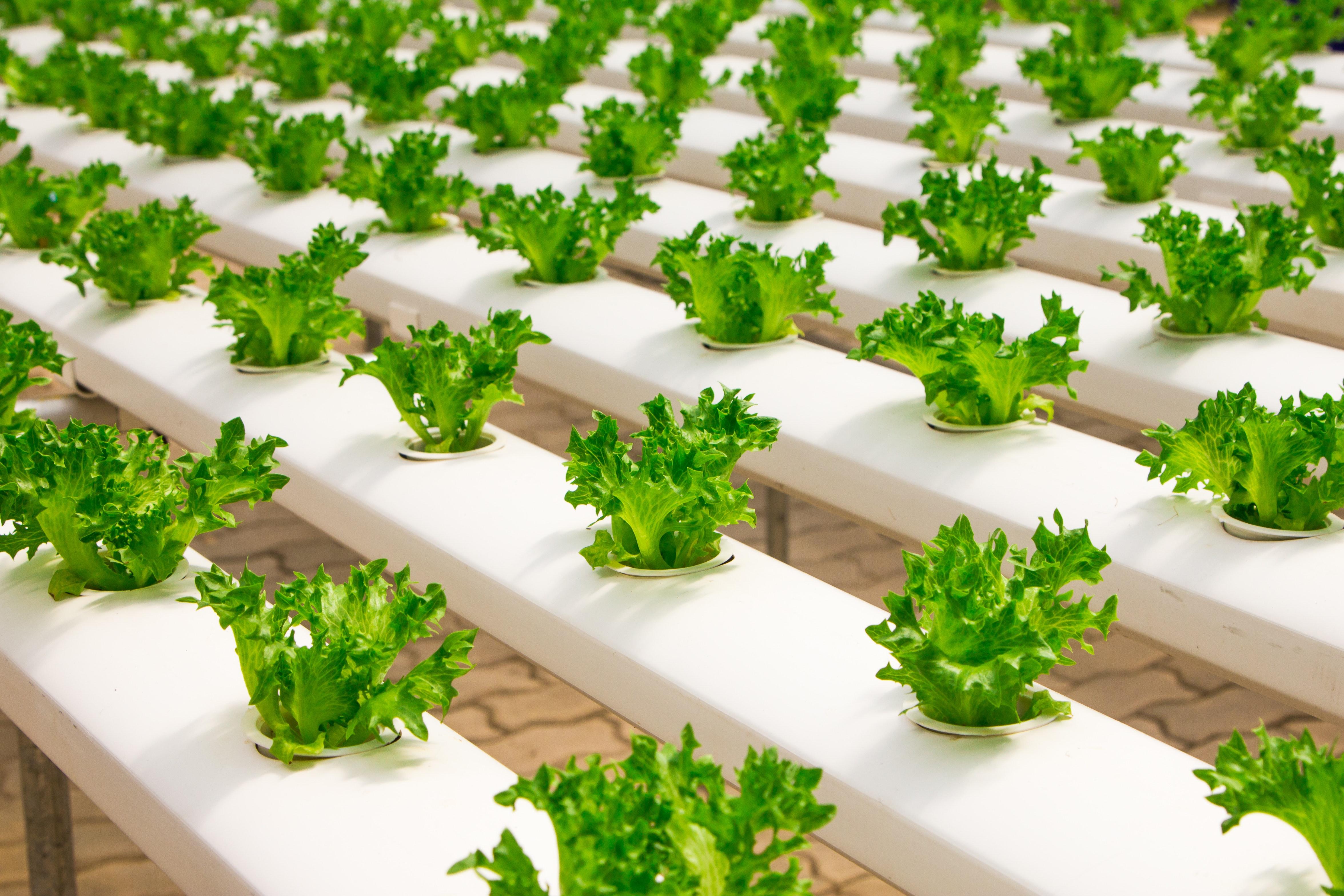 lettce plants