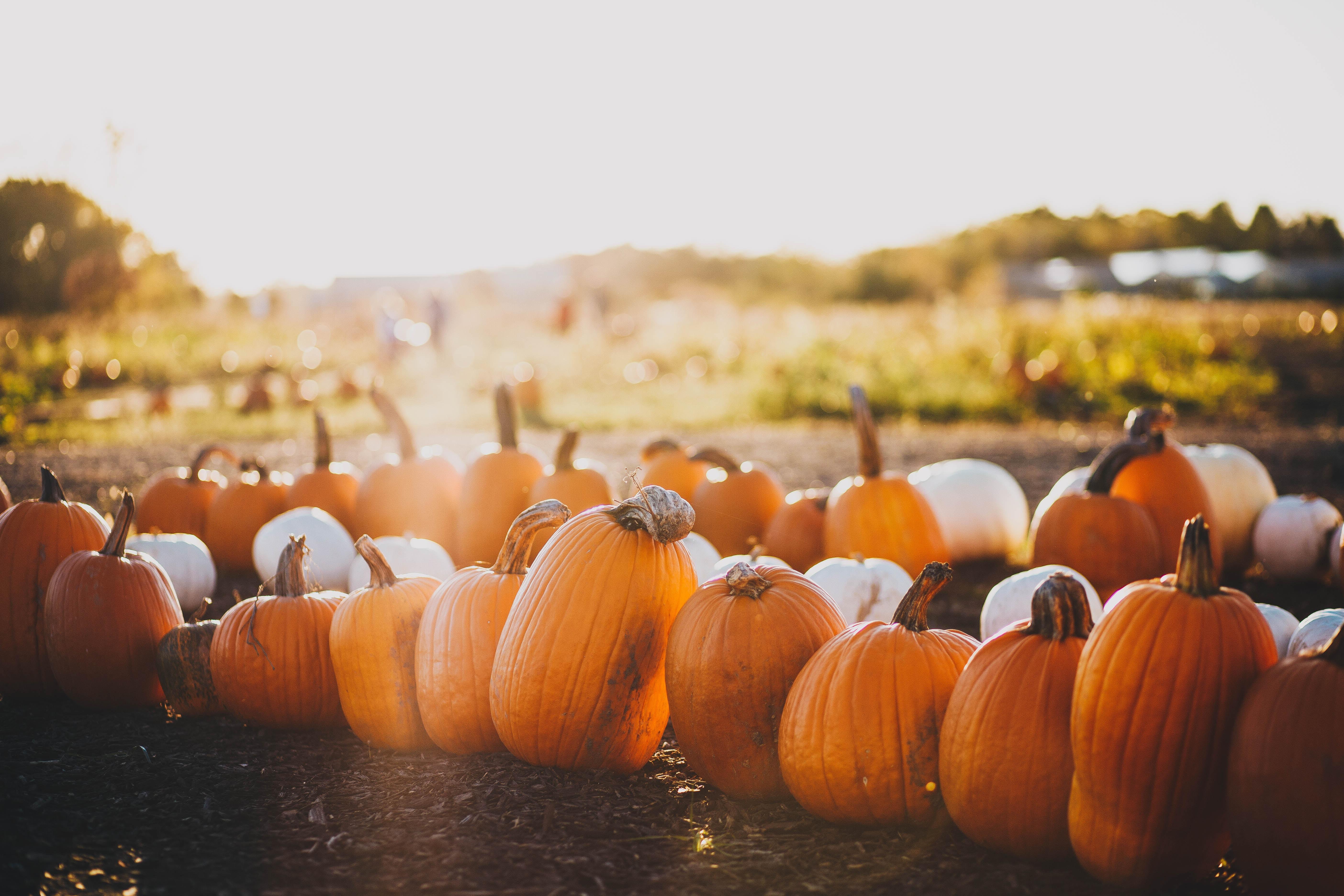 Garsons Farm pumpkins