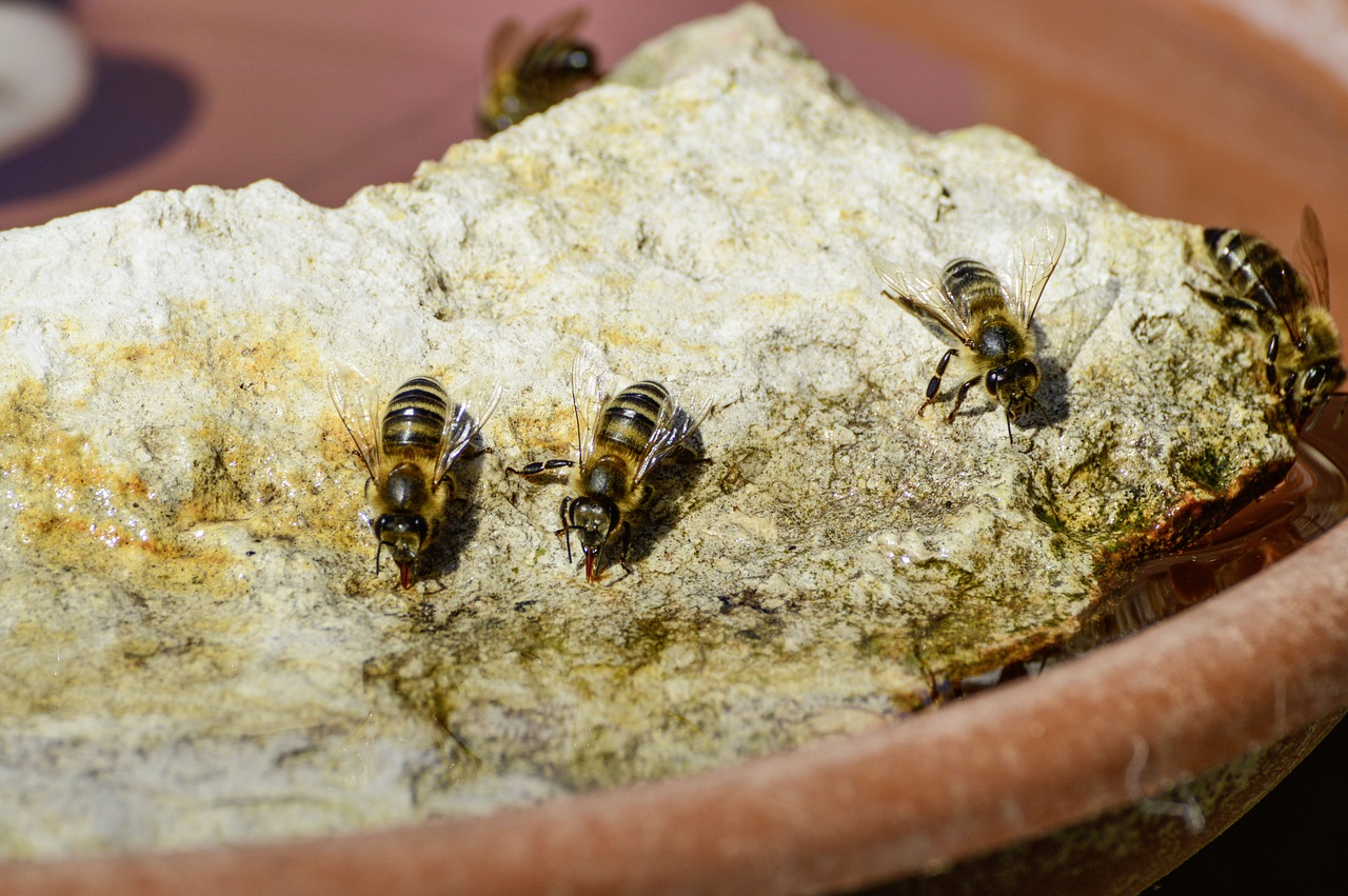 Bees balancing on a rock whilst drinking water