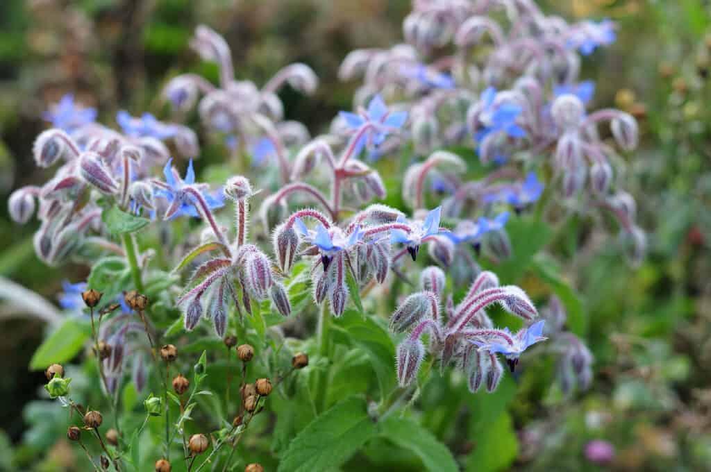 Borage flowers in the garden